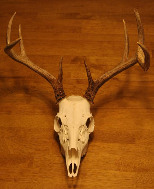 European Skull - Deer