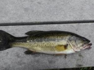 Jumping largemouth bass