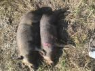 2 hogs with .22 mag